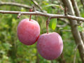 Two plums Stock Photos