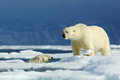 Two polar bear, one in the water, second on the ice. Polar bear couple cuddling on drift ice in Arctic Svalbard. Wildlife action s Royalty Free Stock Photo