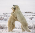 Two polar bears playing with each other in the tundra. Canada.