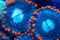Two polyps Royalty Free Stock Photo