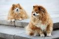 Two Pomeranian
