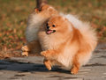 Two Pomeranian playing in the park Royalty Free Stock Photography