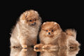 Two Pomeranian puppies on black Royalty Free Stock Photos