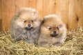 Two pomeranian puppy on a straw Royalty Free Stock Photo