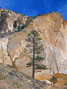 Two ponderosas a ponderosa pine tree growing in a rocky desert area Stock Images