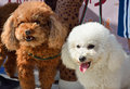 Two poodle dog lovely dogs in brown and white beautiful fur Stock Photography