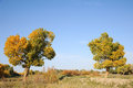 Two poplar trees under blue sky Royalty Free Stock Photography