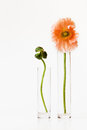 Two poppy flowers in small glass vases against white background Royalty Free Stock Images