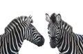Two portrait zebra Royalty Free Stock Photo