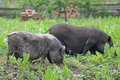 Two pot bellied pigs herbivores grazing in the meadow eat leaves on summer Royalty Free Stock Image