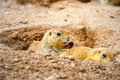 Two Prairie Dogs Stock Photo