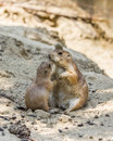 Two prairie dogs kissing in the sand Royalty Free Stock Photography