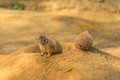 Two prairie dogs. Prairie dog doing security. Royalty Free Stock Photo