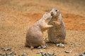 Two prairie dogs sharing their food Royalty Free Stock Photo