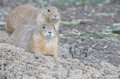 Two prairie dogs Royalty Free Stock Photo