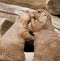 Two Prairie Dogs Whispering Royalty Free Stock Photos