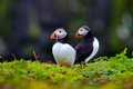 Two Puffins Stock Photo