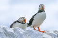 Two puffins sat on a wall Royalty Free Stock Photo