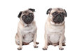 Two pug dogs Stock Images