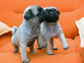 Two pug puppy Stock Photography