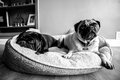 Two pugs a cheetah lying in the shade Stock Photo