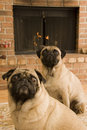 Two Pugs In Front of Fire Stock Photo