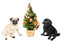 Two pugs sitting by a Christmas tree Royalty Free Stock Photo