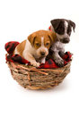 Two puppies in birds nest Royalty Free Stock Photos