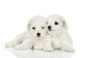 Two puppies of a lap dog isolated on white background Royalty Free Stock Photos