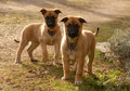 Two puppies malinois Stock Photo