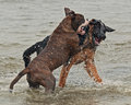 Two puppy fight on beach male german shepherd month and male olde english bulldog month fighting and play very hard Stock Photos