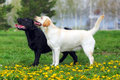 Two purebred dogs Labrador Retriever standing in the show positi Royalty Free Stock Photo