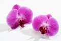 Two purple orchid blossoms with water drops Royalty Free Stock Photo