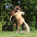 Two quarter horse stallions fighting with each other on pasturage Stock Image