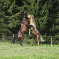 Two quarter horse stallions fighting with each other on pasturage Royalty Free Stock Images