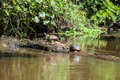 Two quite huge turtles are staying on a fallen tree inside the river. Royalty Free Stock Photo
