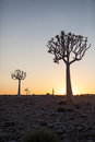 Two quiver trees silhouetted against the sunrise portrait exterior Stock Photography