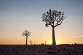 Two quiver trees silhouetted against the sunset landscape exterior Stock Image