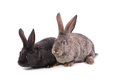 Two rabbits on a white background Stock Photos