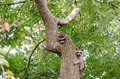 Two raccoon kits in tree explore a on a summer day Stock Photo