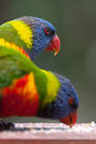 Two rainbow lorikeets feeding in the nature vertical version Royalty Free Stock Photo