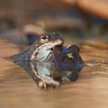 Two rana arvalis moor frogs in the matting season in extremely shallow depth of field Royalty Free Stock Photo