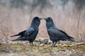 Two ravens the common raven corvus corax also known as the northern raven is a large all black passerine bird photo was taken in Royalty Free Stock Photos