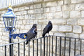 Two Ravens at the Tower of London