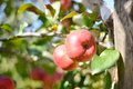 Two red apples on apple tree branch Royalty Free Stock Photo
