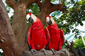 Two red blue color parrots looking in the same direction Royalty Free Stock Photo