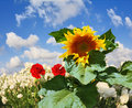 Two red buttercups and the large sunflower field of white garden ranunculus asiaticus among which grow a Stock Photo