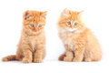Two red cat cats on a white background Stock Images