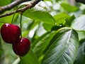 TWO RED CHERRIES CLOSE-UP Royalty Free Stock Photo