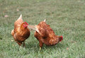 Two red chickens in the green grass Stock Image